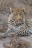 O leopardo do retrato estabelece dentro no crepúsculo para descansar e relaxar imagens de stock royalty free