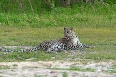 O leopardo em Sri Lanka Fotografia de Stock Royalty Free