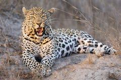 O leopardo estabelece dentro no crepúsculo para descansar e relaxar fotos de stock
