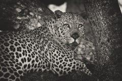 O leopardo estabelece na árvore para descansar e relaxar a conversão artística foto de stock