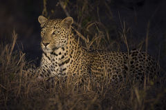 O leopardo estabelece na escuridão para descansar e relaxar imagens de stock royalty free