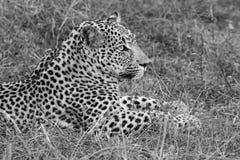 O leopardo estabelece no crepúsculo para descansar e relaxar imagem de stock royalty free