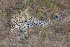 O leopardo estabelece no crepúsculo para descansar e relaxar foto de stock