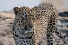 O leopardo f?mea est? em um waterhole em Sabi Sands Game Reserve, Kruger, Mpumalanga, ?frica do Sul imagens de stock