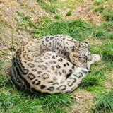 O leopardo ou a onça de neve são um grande gato fotografia de stock royalty free