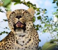 O leopardo, predador, animal, dentes, abriu a boca, revestimento manchado Fotografia de Stock