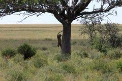 O leopardo que salta da árvore foto de stock