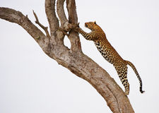 O leopardo que salta na árvore Fotos de Stock Royalty Free