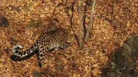O leopardo raro bonito de amur está comendo uma parte de carne em Safari Park Rússia filme