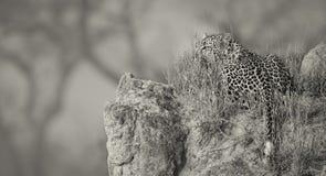 O leopardo solitário estabelece para descansar no formigueiro na natureza durante o daytim fotos de stock royalty free
