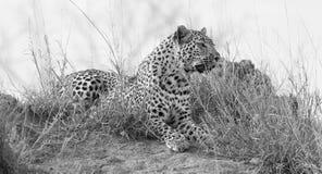 O leopardo solitário estabelece para descansar no formigueiro na natureza durante o daytim imagens de stock