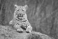 O leopardo solitário estabelece para descansar no formigueiro na natureza durante o daytim fotos de stock