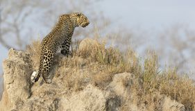O leopardo solitário senta para baixo o descanso no formigueiro na natureza durante o daytim imagem de stock