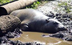 O liberiano África do anão do hipopótamo brilha nas Web fender-hoofed do mamífero do sol nos pés fotografia de stock