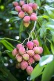 O lichi frutifica, chamado localmente Lichu no ranisonkoil, thakurgoan, Bangladesh Foto de Stock Royalty Free