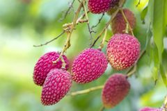 O lichi frutifica, chamado localmente Lichu no ranisonkoil, thakurgoan, Bangladesh fotos de stock
