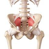 O ligamento sacroiliac ilustração stock
