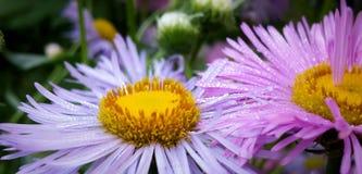 O lilás alpino do áster floresce o close-up em orvalho-gotas da manhã Imagens de Stock