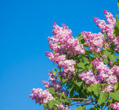 O lilás cor-de-rosa, roxo e violeta bonito floresce o close up da flor Fotografia de Stock Royalty Free