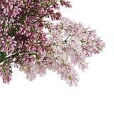 O lilás da flor um fundo de madeira Fotos de Stock Royalty Free