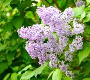 O lilás de florescência Fotos de Stock