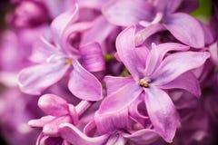 O lilás floresce o fundo abstrato Imagens de Stock Royalty Free