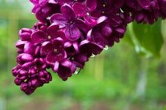 O lilás perfumado floresce a flor na mola fotos de stock royalty free