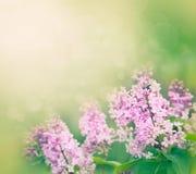 O Lilac floresce o fundo Fotografia de Stock