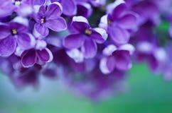 O Lilac floresce o fundo Foto de Stock