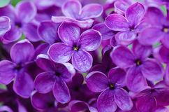 O Lilac floresce o fundo Fotos de Stock