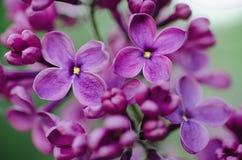 O Lilac floresce o fundo Imagem de Stock Royalty Free