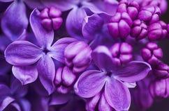 O Lilac floresce o fundo Imagens de Stock Royalty Free