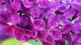 O Lilac floresce o fundo video estoque