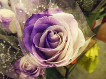 O Lilac levantou-se Foto de Stock