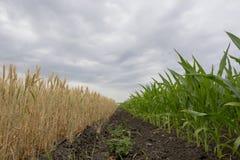 O limite coloca com amadurecimento da colheita de grão, centeio, trigo ou a cevada, os campos esverdeia com milho crescente imagem de stock royalty free