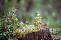 O lingonberry, o partridgeberry, ou a airela vermelha madura crescem no pinho Foto de Stock