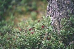 O lingonberry, o partridgeberry, ou a airela vermelha madura crescem no pinho Imagem de Stock