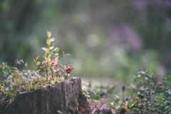 O lingonberry, o partridgeberry, ou a airela vermelha madura crescem no pinho Fotos de Stock Royalty Free