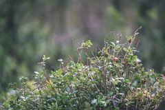 O lingonberry, o partridgeberry, ou a airela vermelha madura crescem no pinho Imagens de Stock