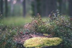O lingonberry, o partridgeberry, ou a airela vermelha madura crescem no pinho Foto de Stock Royalty Free
