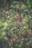 O lingonberry, o partridgeberry, ou a airela vermelha madura crescem no pinho Imagem de Stock Royalty Free