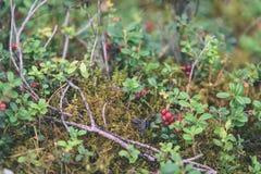 O lingonberry, o partridgeberry, ou a airela vermelha madura crescem no pinho Fotos de Stock