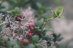 O lingonberry, o partridgeberry, ou a airela vermelha madura crescem no pinho Imagens de Stock Royalty Free