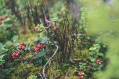 O lingonberry, o partridgeberry, ou a airela vermelha madura crescem no pinho Fotografia de Stock