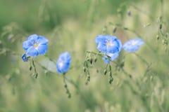 O linho azul delicado floresce em um fundo bonito Foco seletivo Foto de Stock