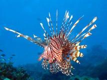 O Lionfish vermelho fotografia de stock