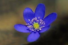O Liverwort floresce nobilis de Hepatica na floresta da mola Fotos de Stock