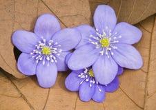 O Liverwort floresce (os nobilis de Hepatica) Imagens de Stock Royalty Free