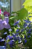 O Lobelia com as flores azuis bonitas cresce no jardim pequeno no balcão foto de stock