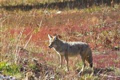 O lobo bonito do prado Fotografia de Stock Royalty Free